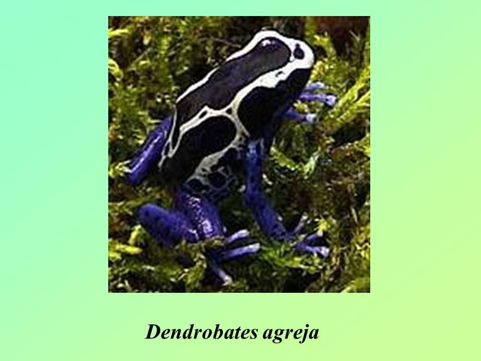 Dendrobates agreja