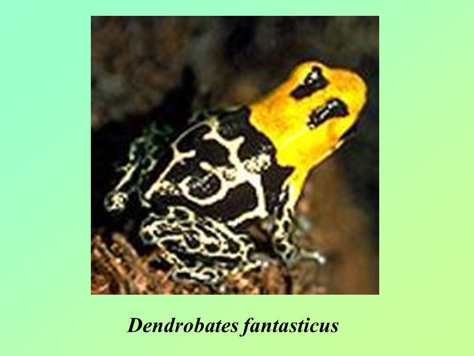 Dendrobates fantasticus