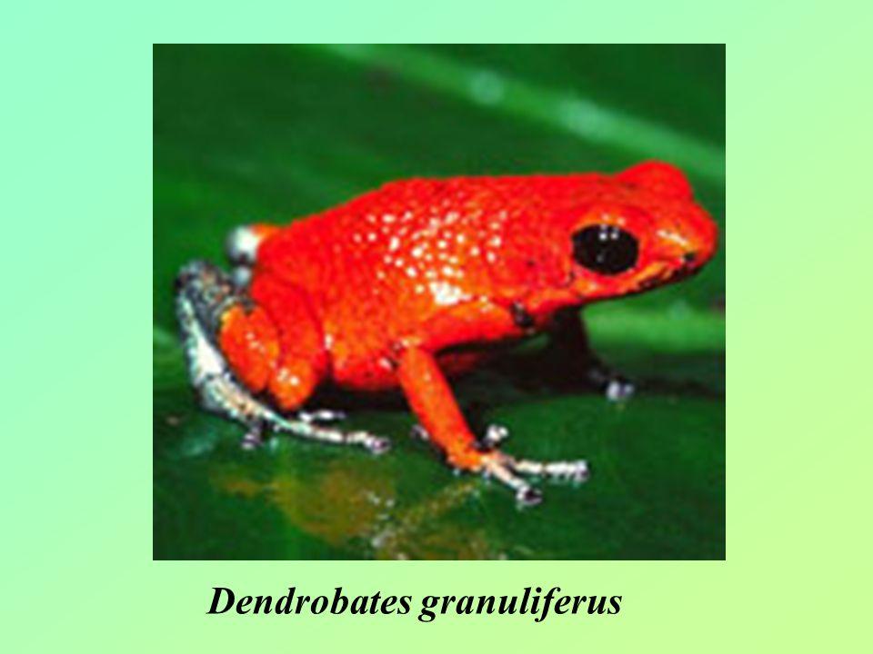 Dendrobates granuliferus