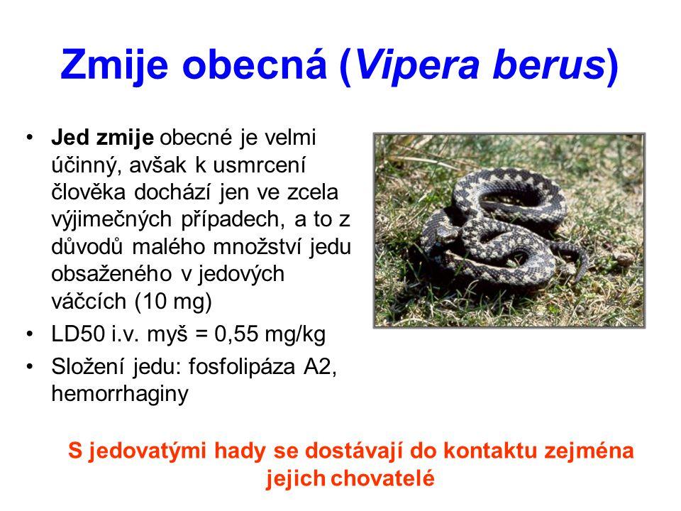 Zmije obecná (Vipera berus)