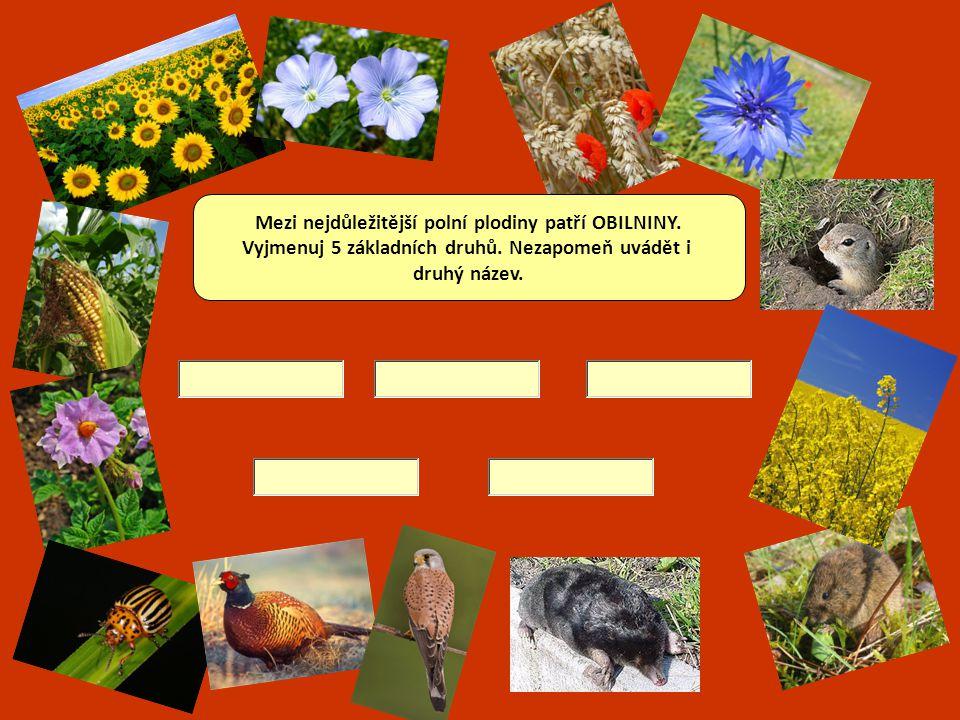 Mezi nejdůležitější polní plodiny patří OBILNINY.