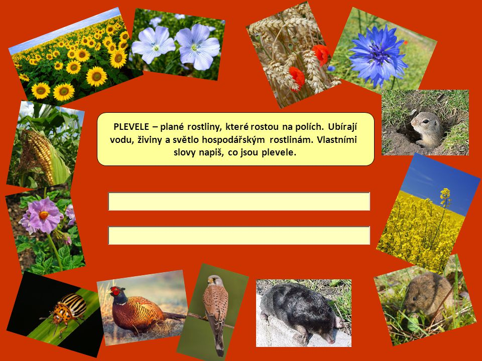 PLEVELE – plané rostliny, které rostou na polích. Ubírají
