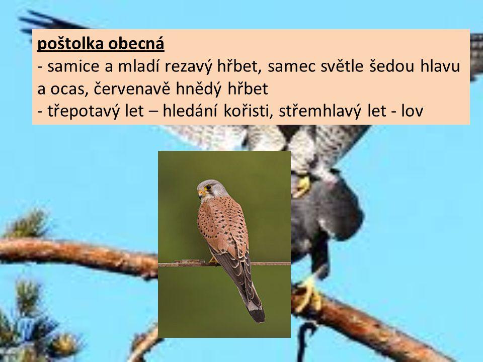 poštolka obecná - samice a mladí rezavý hřbet, samec světle šedou hlavu. a ocas, červenavě hnědý hřbet.