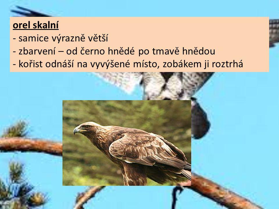 orel skalní - samice výrazně větší. - zbarvení – od černo hnědé po tmavě hnědou.