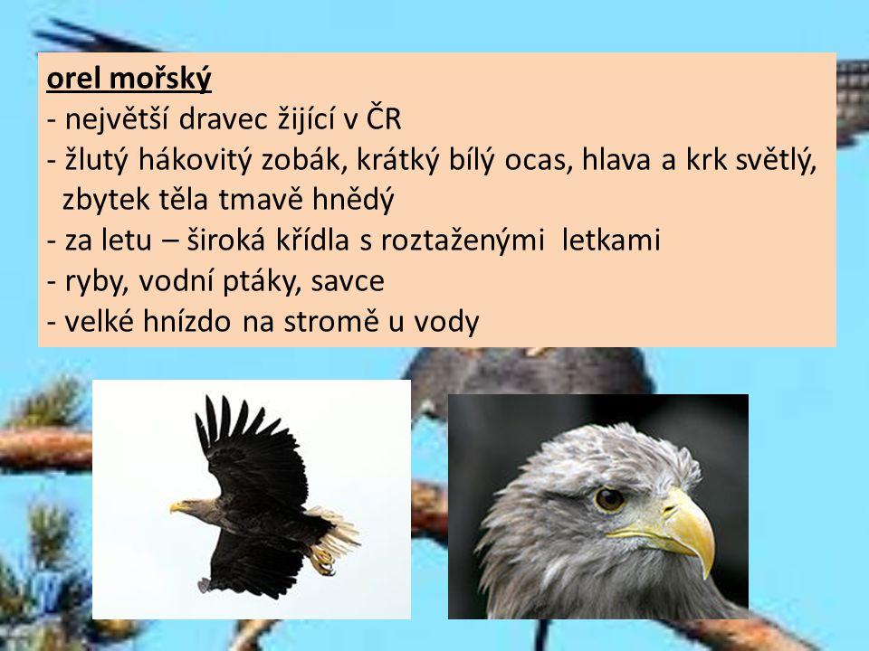 orel mořský - největší dravec žijící v ČR. - žlutý hákovitý zobák, krátký bílý ocas, hlava a krk světlý,