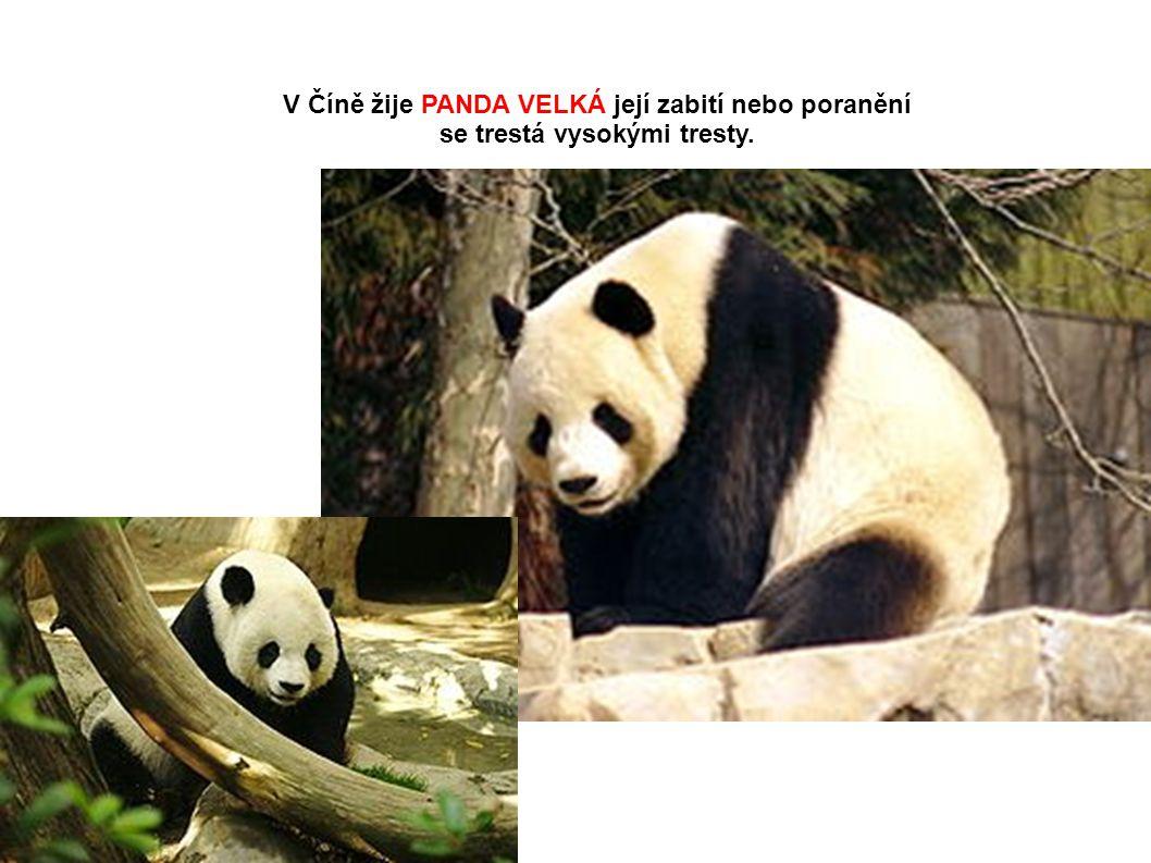 V Číně žije PANDA VELKÁ její zabití nebo poranění
