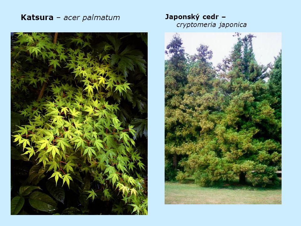 Katsura – acer palmatum