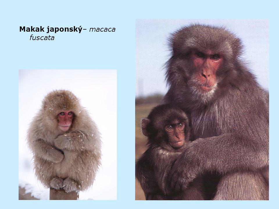 Makak japonský– macaca fuscata