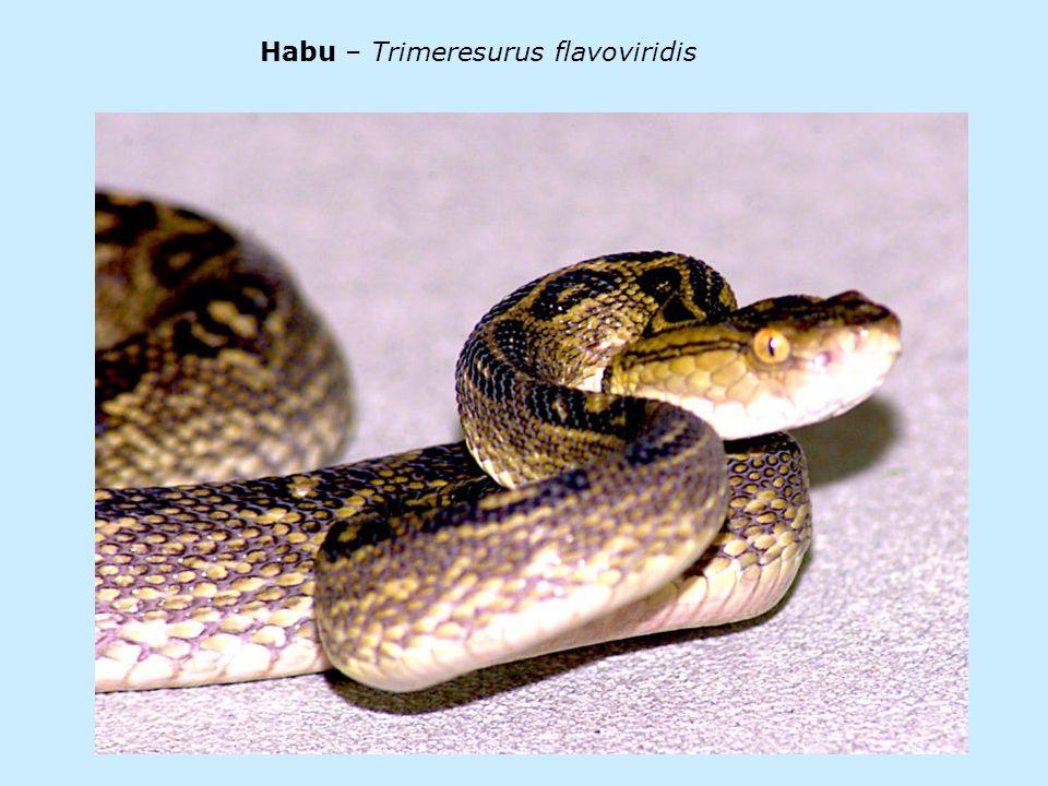 Habu – Trimeresurus flavoviridis