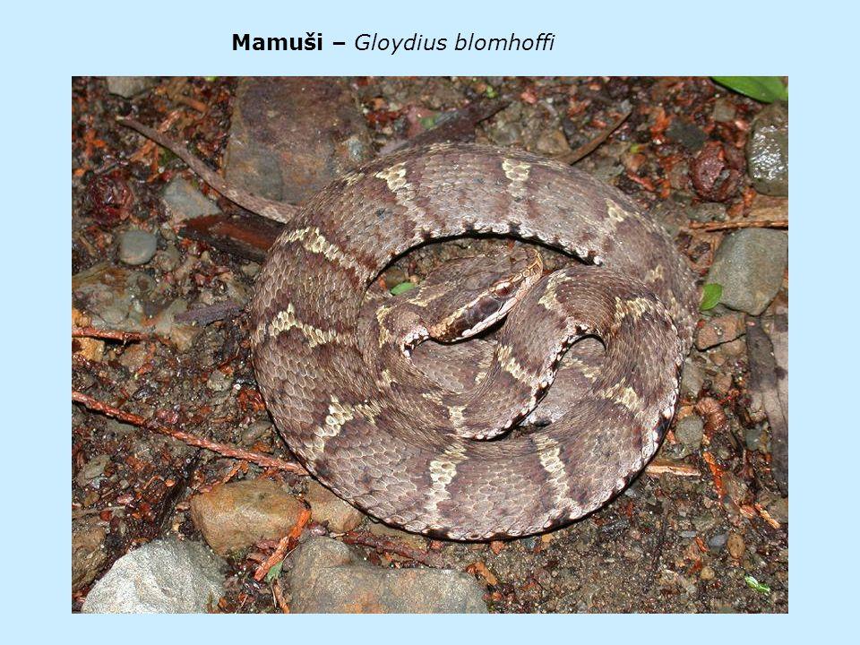 Mamuši – Gloydius blomhoffi