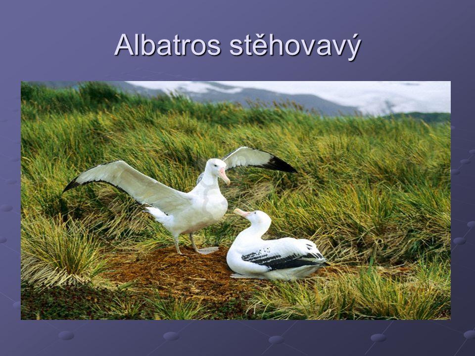 Albatros stěhovavý