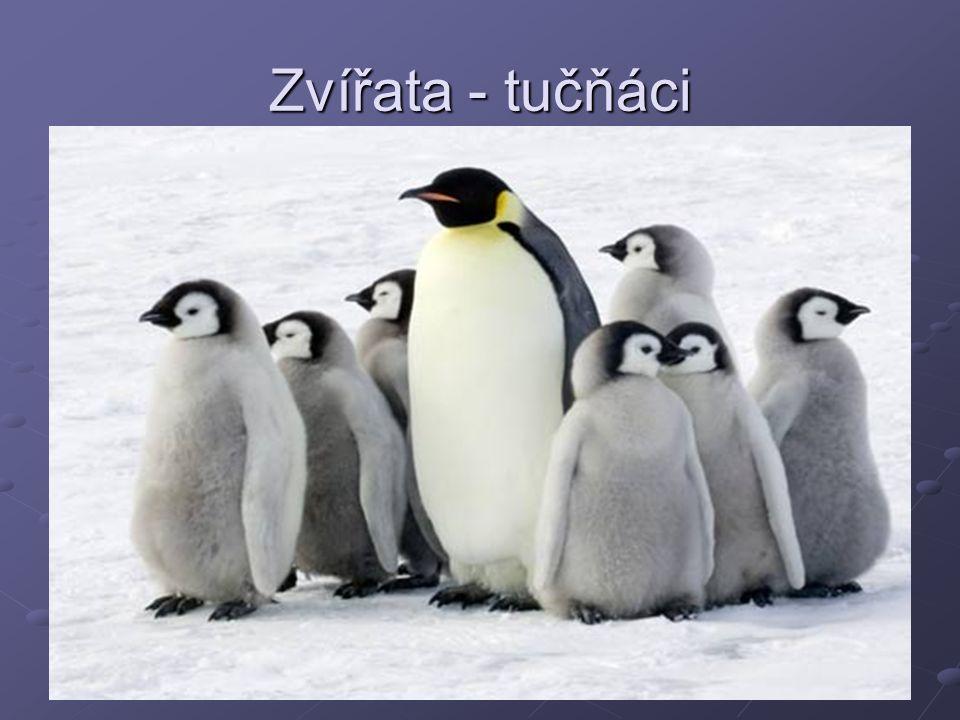 Zvířata - tučňáci
