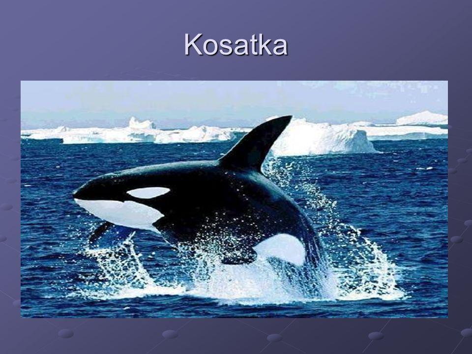 Kosatka
