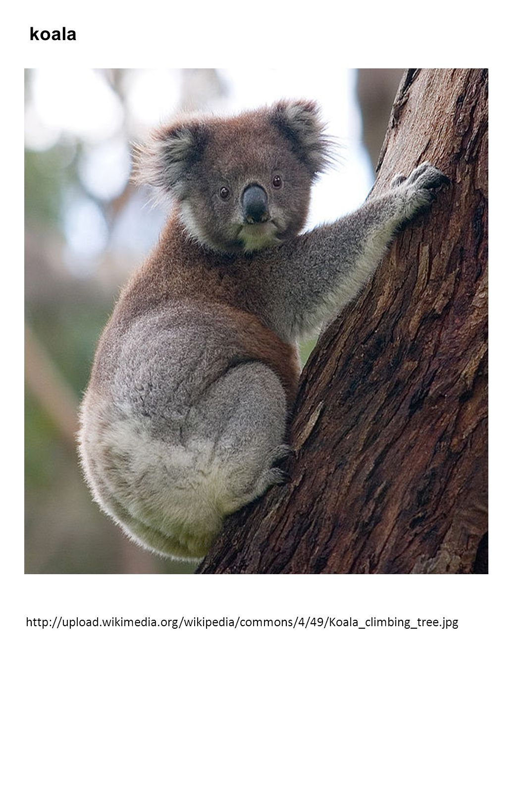 koala http://upload.wikimedia.org/wikipedia/commons/4/49/Koala_climbing_tree.jpg