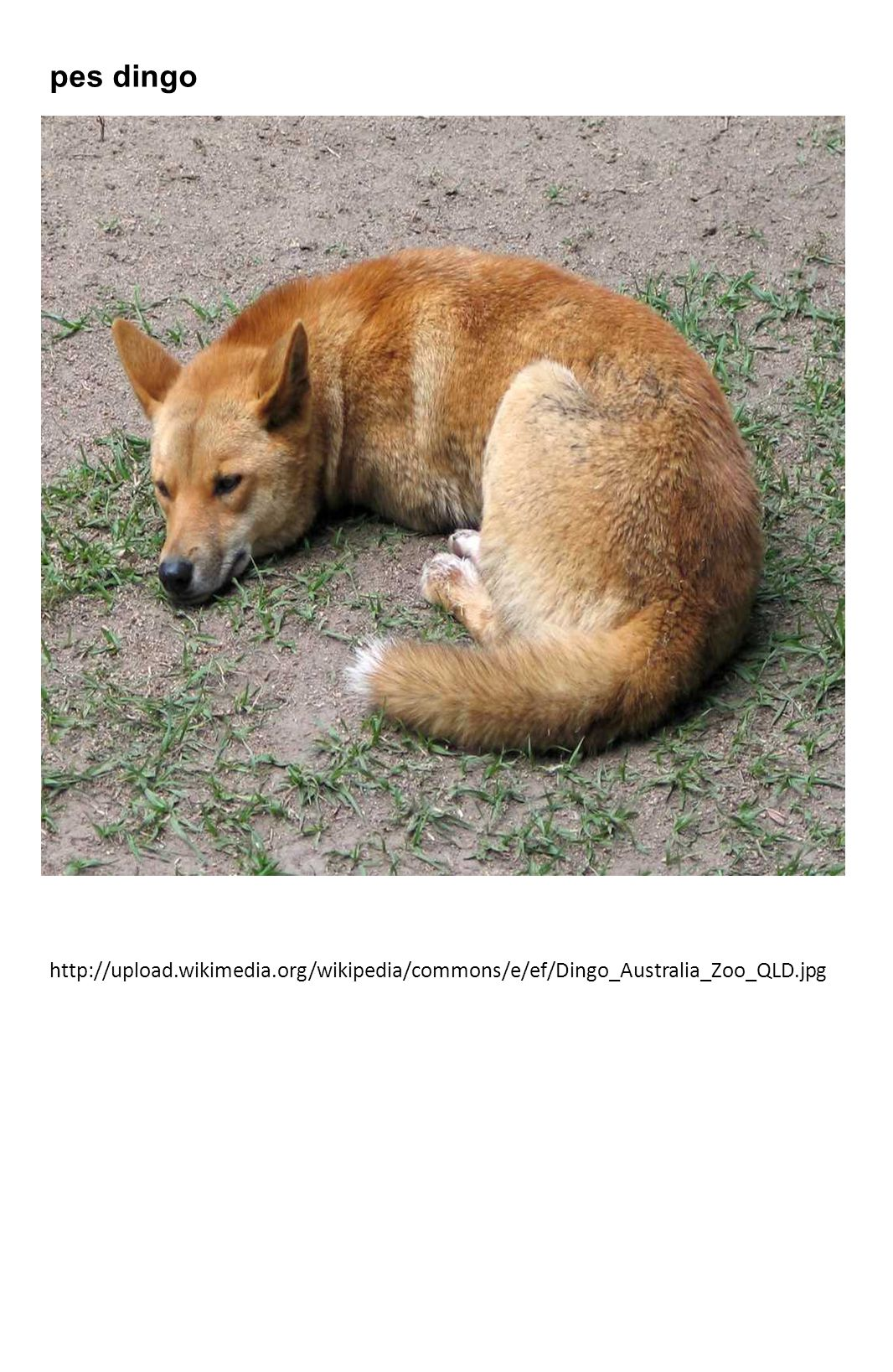 pes dingo http://upload.wikimedia.org/wikipedia/commons/e/ef/Dingo_Australia_Zoo_QLD.jpg