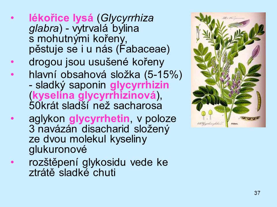 lékořice lysá (Glycyrrhiza glabra) - vytrvalá bylina s mohutnými kořeny, pěstuje se i u nás (Fabaceae)