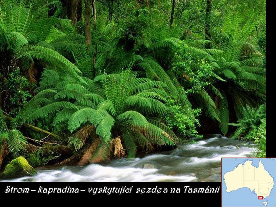Strom – kapradina – vyskytující se zde a na Tasmánii