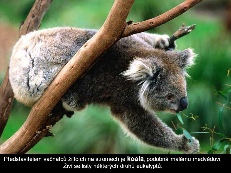 Představitelem vačnatců žijících na stromech je koala, podobná malému medvědovi.