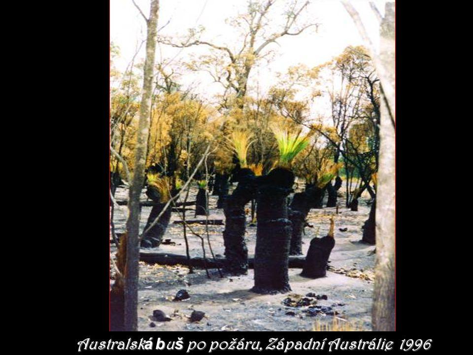 Australská buš po požáru, Západní Austrálie 1996