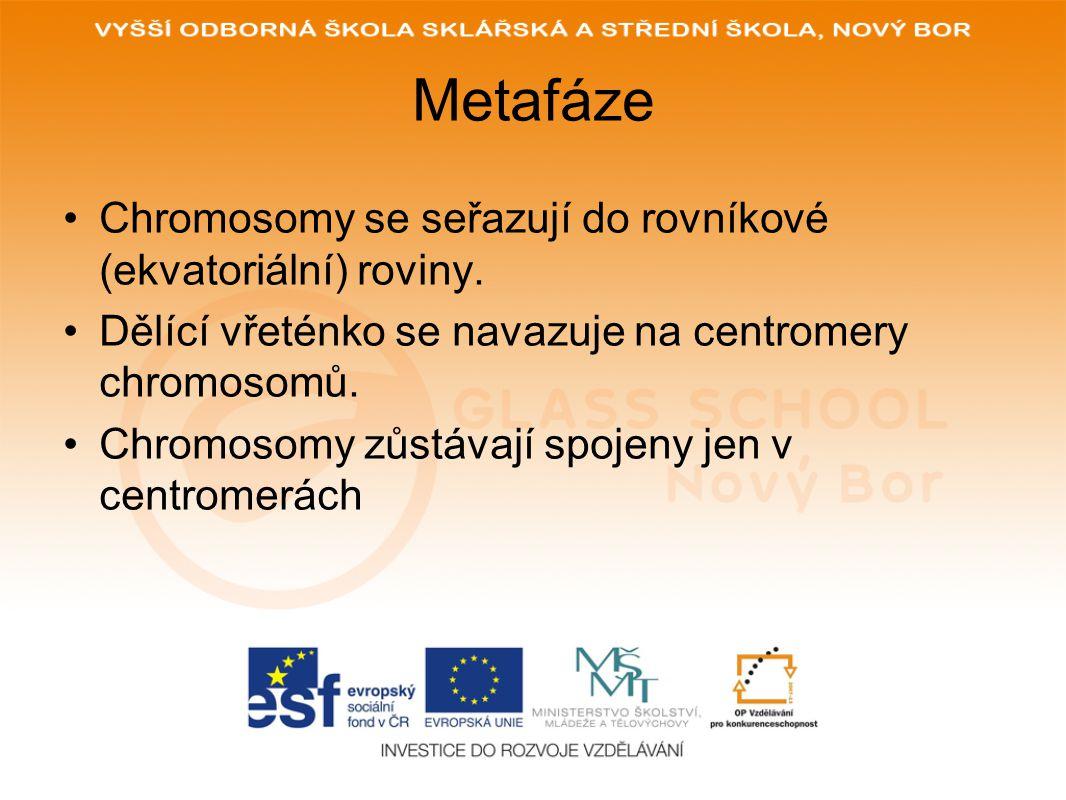 Metafáze Chromosomy se seřazují do rovníkové (ekvatoriální) roviny.
