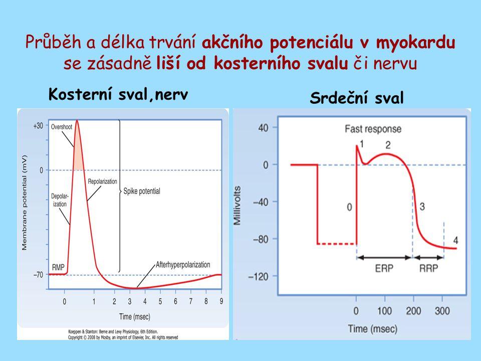 Průběh a délka trvání akčního potenciálu v myokardu se zásadně liší od kosterního svalu či nervu