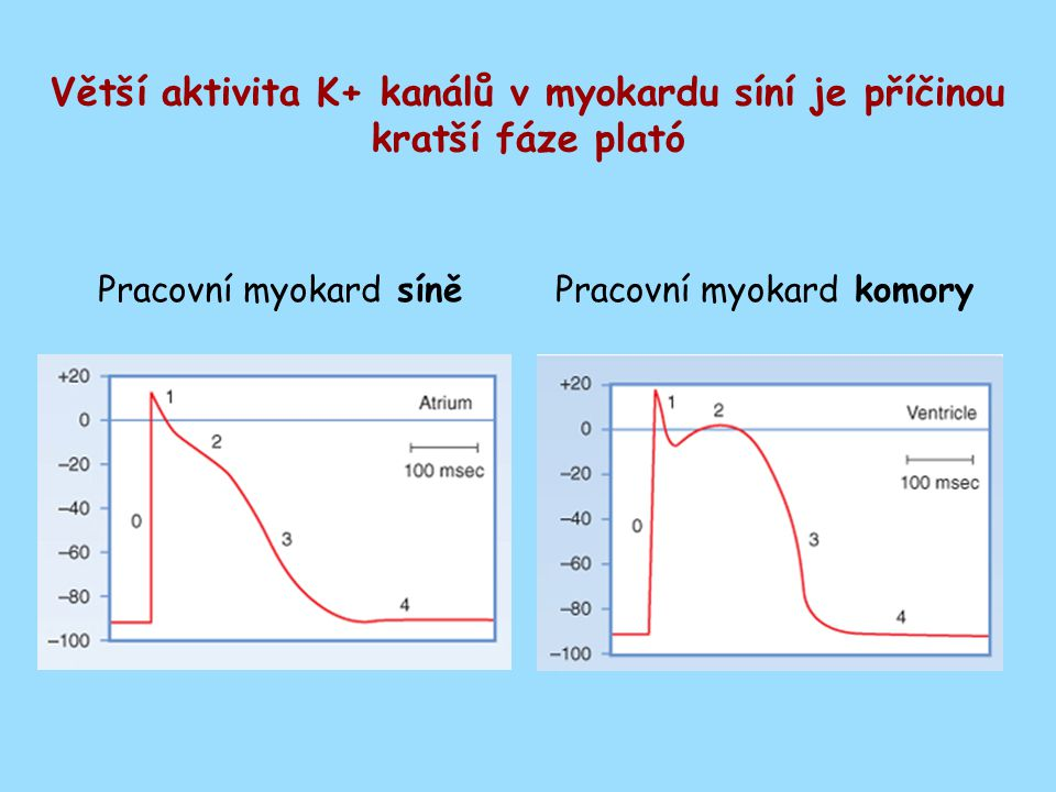Větší aktivita K+ kanálů v myokardu síní je příčinou kratší fáze plató