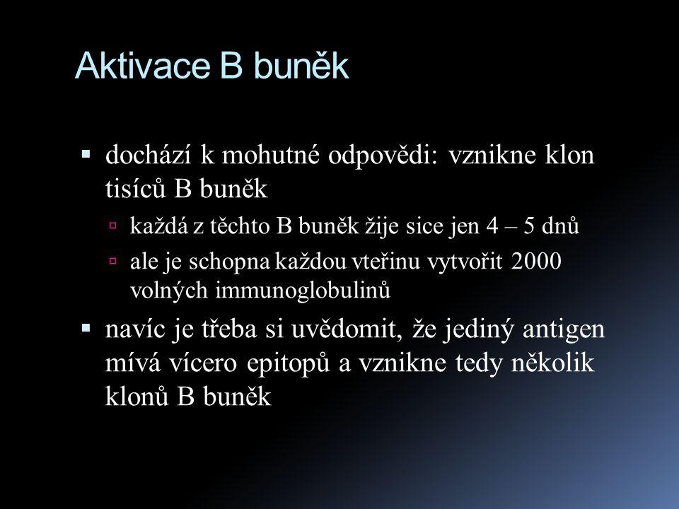 Aktivace B buněk dochází k mohutné odpovědi: vznikne klon tisíců B buněk. každá z těchto B buněk žije sice jen 4 – 5 dnů.
