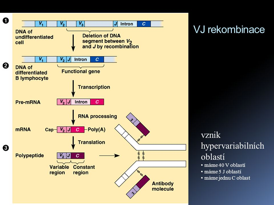 VJ rekombinace vznik hypervariabilních oblastí máme 40 V oblastí