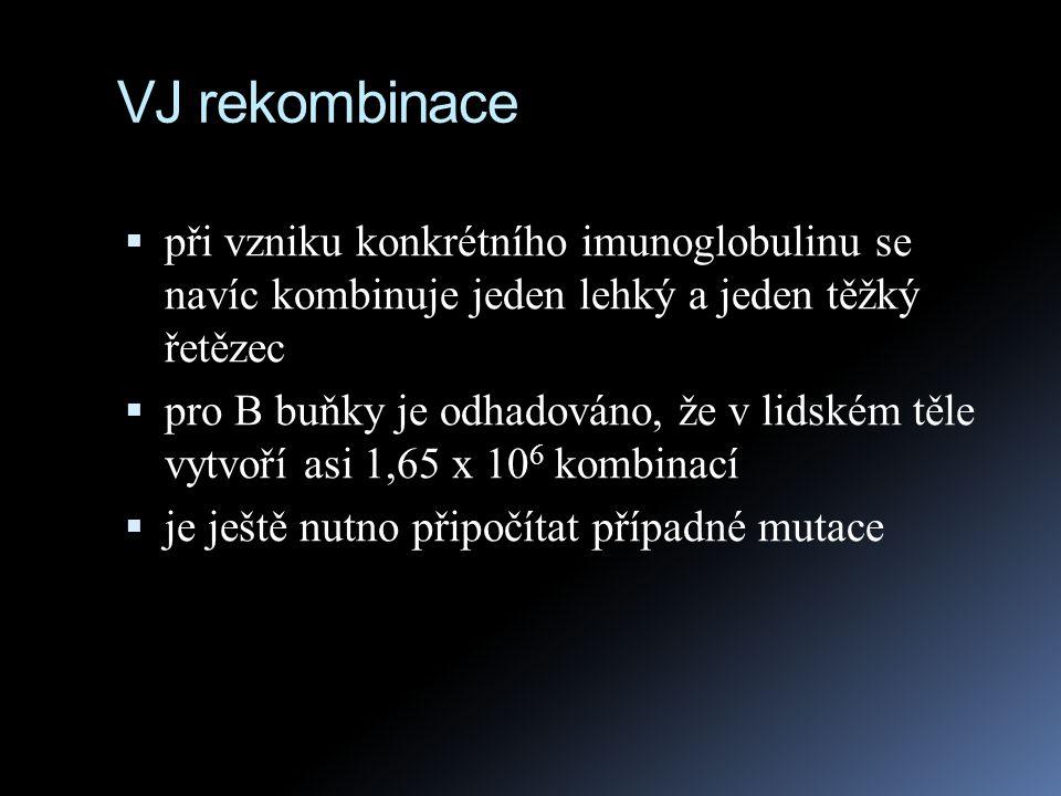 VJ rekombinace při vzniku konkrétního imunoglobulinu se navíc kombinuje jeden lehký a jeden těžký řetězec.