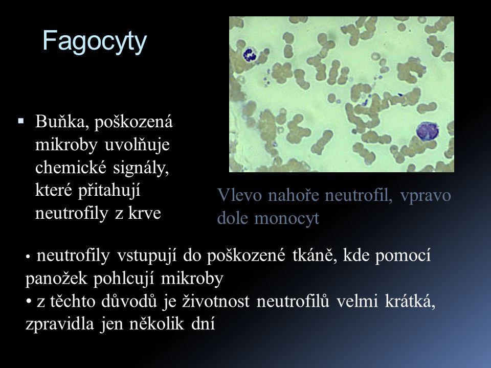 Fagocyty Buňka, poškozená mikroby uvolňuje chemické signály, které přitahují neutrofily z krve.