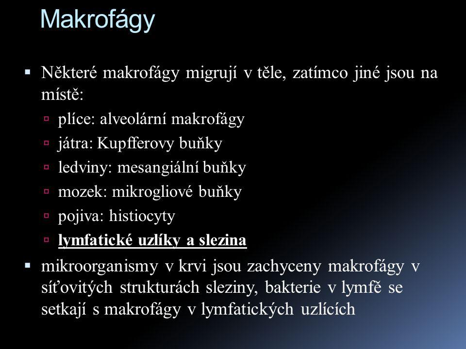 Makrofágy Některé makrofágy migrují v těle, zatímco jiné jsou na místě: plíce: alveolární makrofágy.