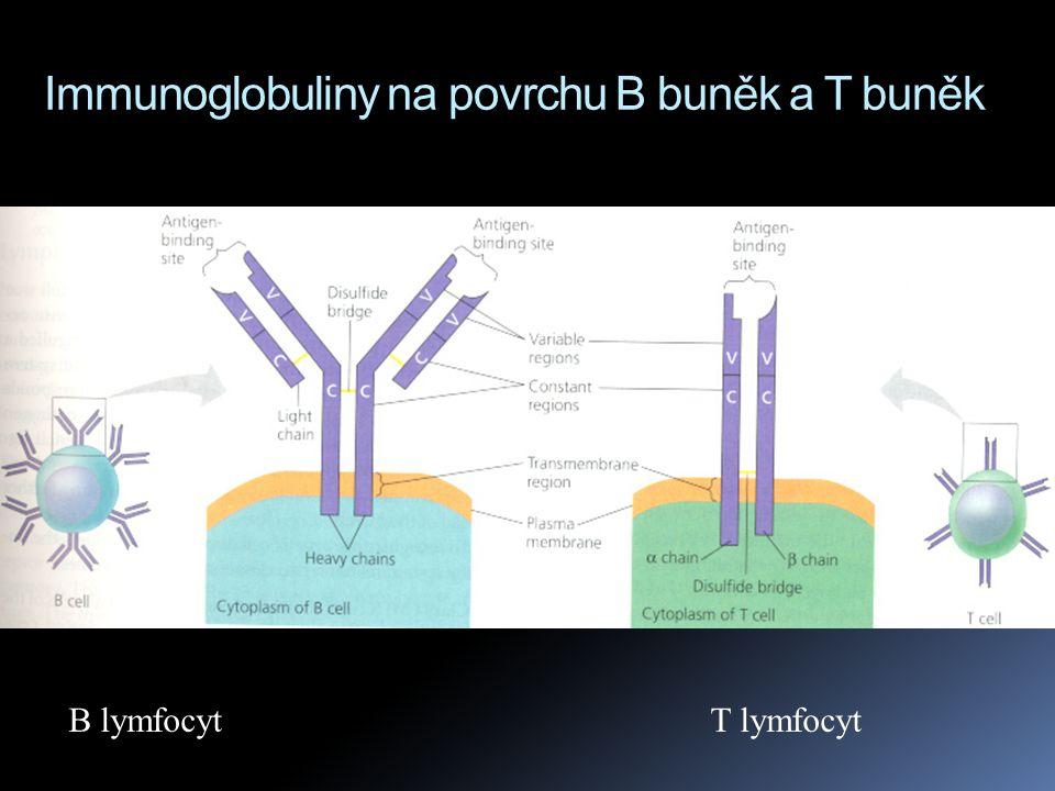 Immunoglobuliny na povrchu B buněk a T buněk