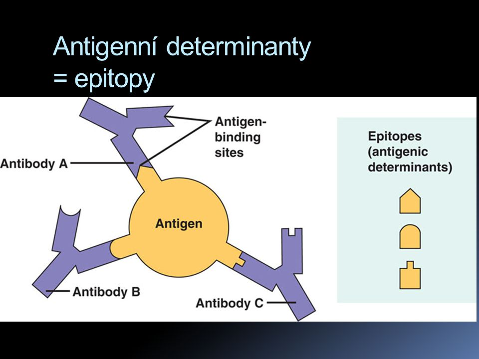 Antigenní determinanty = epitopy