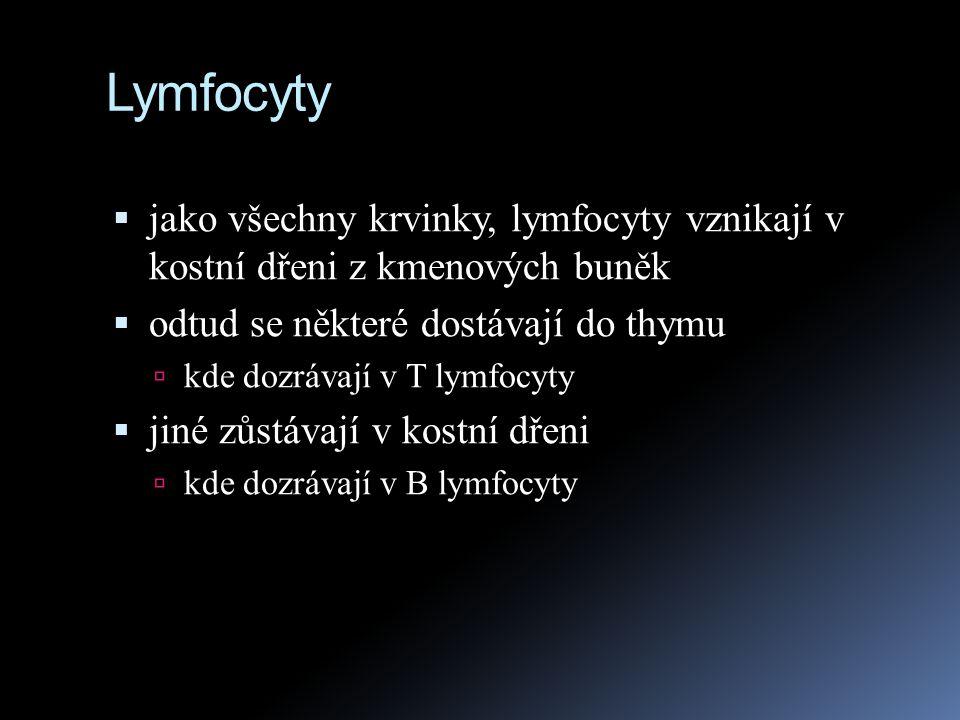 Lymfocyty jako všechny krvinky, lymfocyty vznikají v kostní dřeni z kmenových buněk. odtud se některé dostávají do thymu.