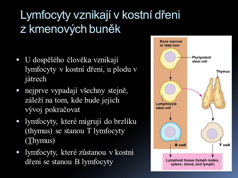 Lymfocyty vznikají v kostní dřeni z kmenových buněk