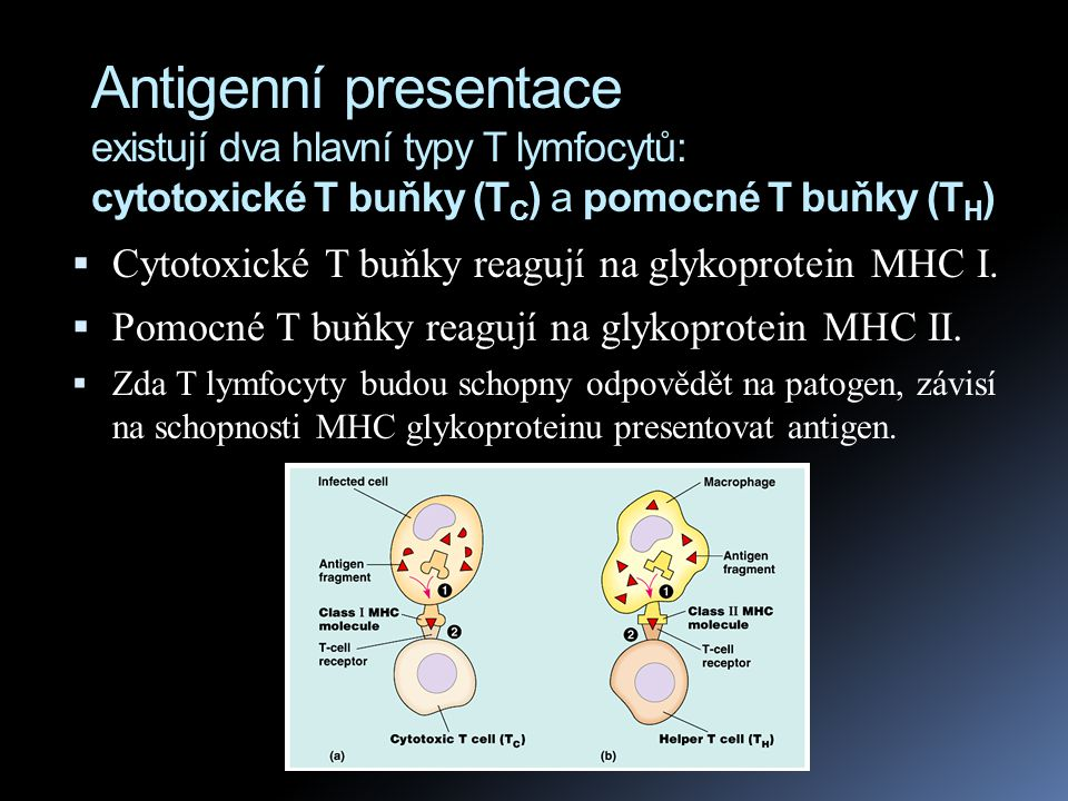 Antigenní presentace existují dva hlavní typy T lymfocytů: cytotoxické T buňky (TC) a pomocné T buňky (TH)