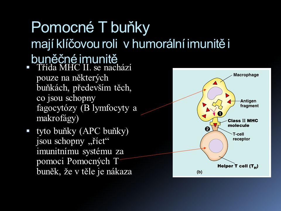 Pomocné T buňky mají klíčovou roli v humorální imunitě i buněčné imunitě