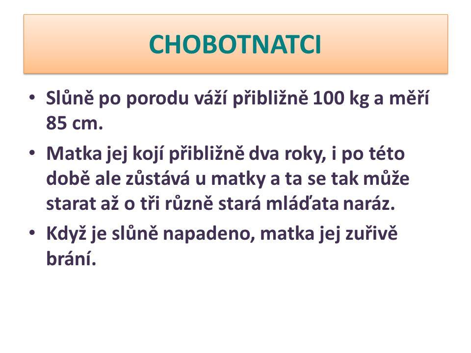 CHOBOTNATCI Slůně po porodu váží přibližně 100 kg a měří 85 cm.