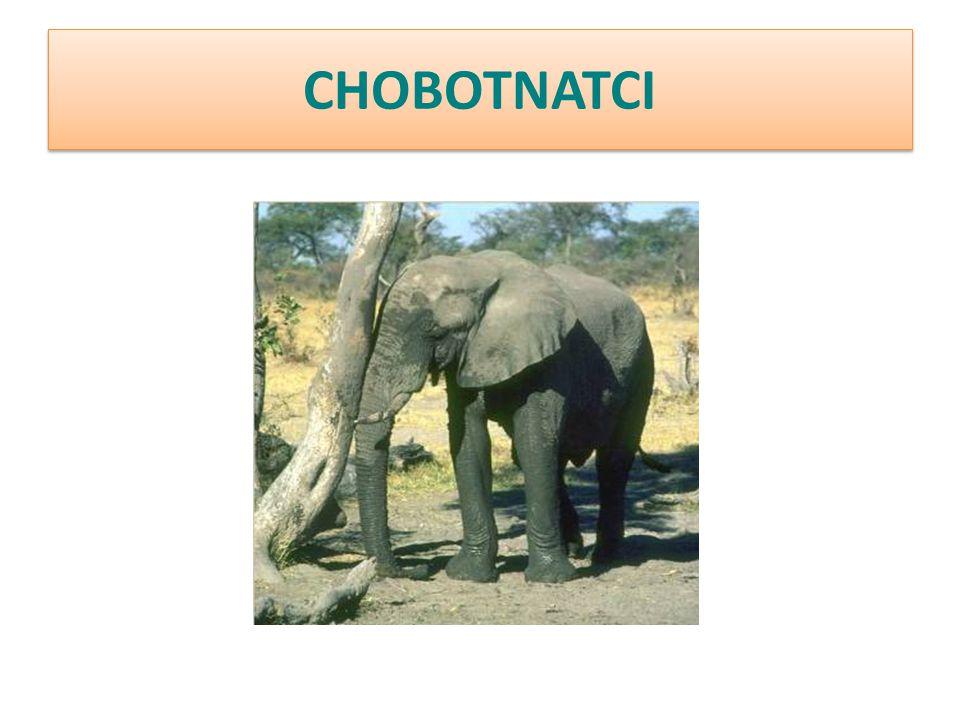 CHOBOTNATCI