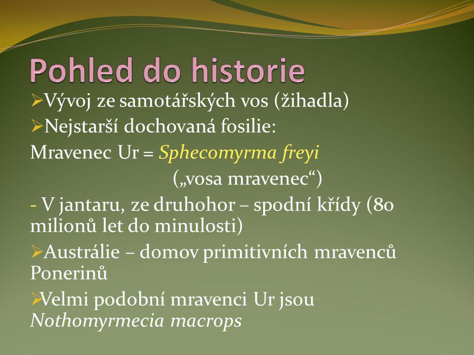 Pohled do historie Vývoj ze samotářských vos (žihadla)