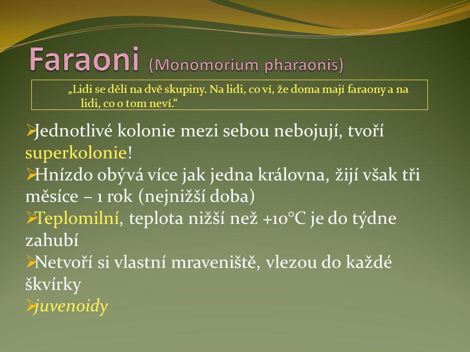 Faraoni (Monomorium pharaonis)