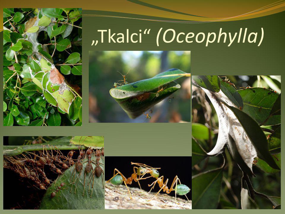 """""""Tkalci (Oceophylla)"""