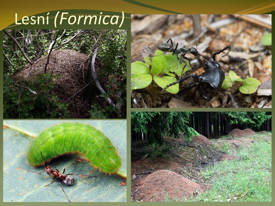 Lesní (Formica)