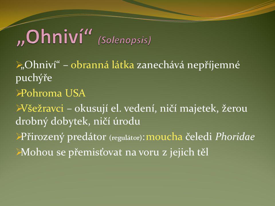 """Ohniví (Solenopsis)"