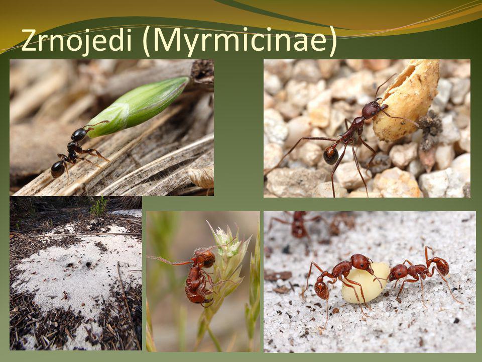 Zrnojedi (Myrmicinae)