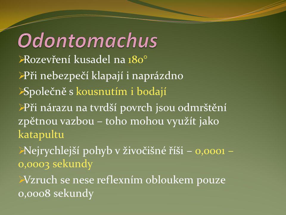 Odontomachus Rozevření kusadel na 180°