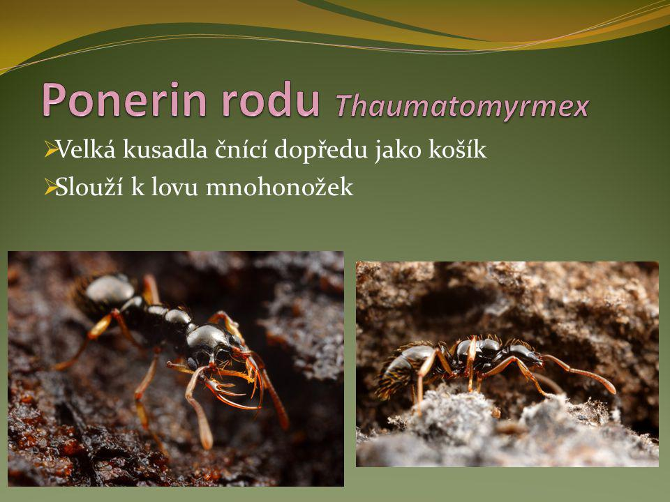 Ponerin rodu Thaumatomyrmex