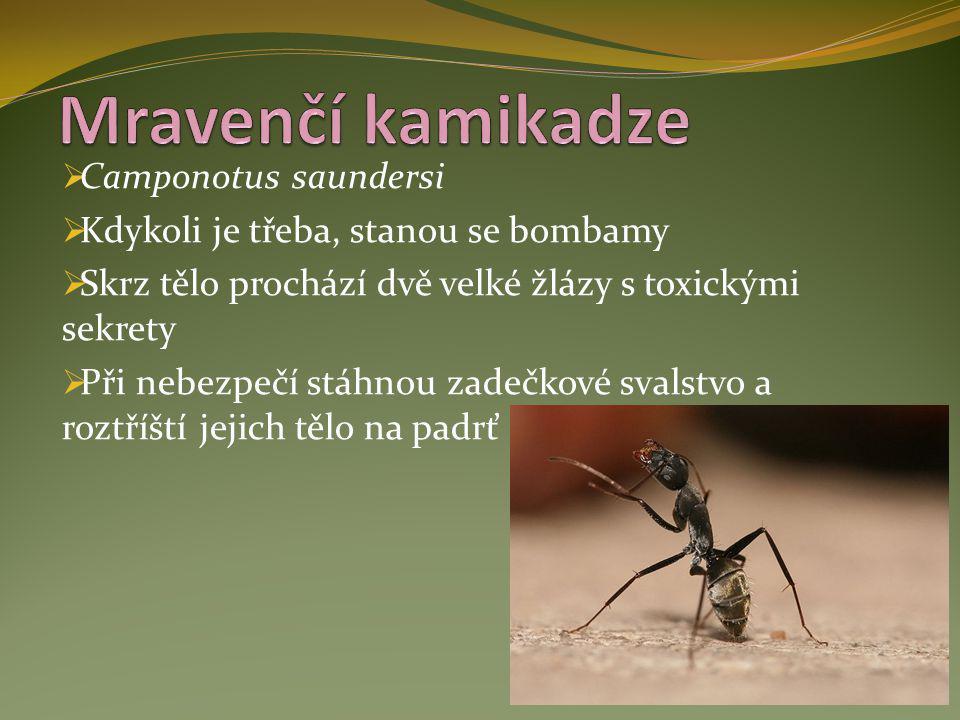 Mravenčí kamikadze Camponotus saundersi