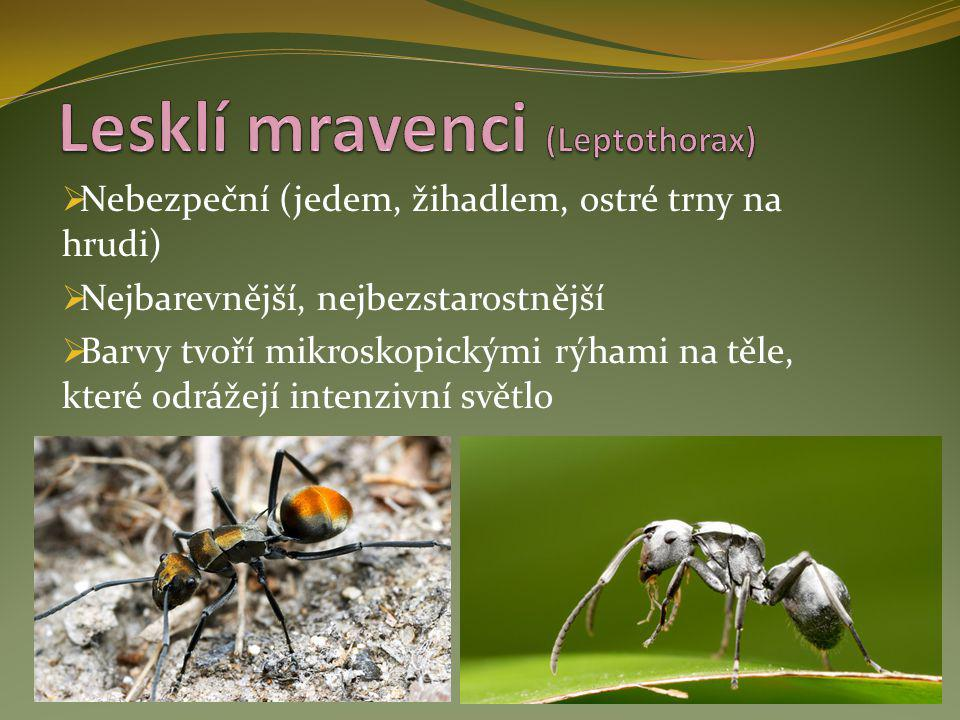 Lesklí mravenci (Leptothorax)