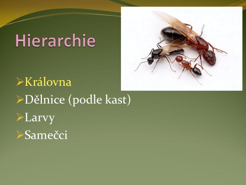Hierarchie Královna Dělnice (podle kast) Larvy Samečci